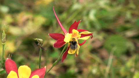 a bee on a flower Stock Video Footage