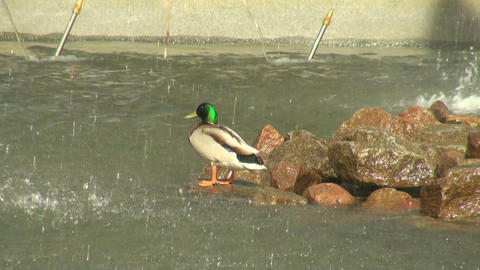 The duck in the fountain Stock Video Footage