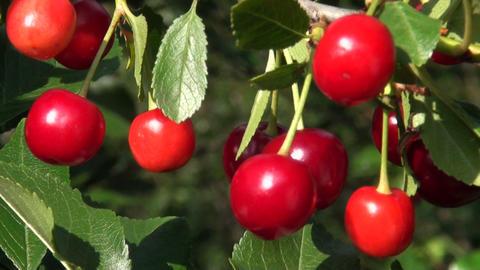 Ripe cherry Stock Video Footage