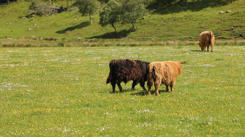 Typical Scottish cows in a field Footage