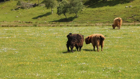 Typical Scottish cows in a field Stock Video Footage