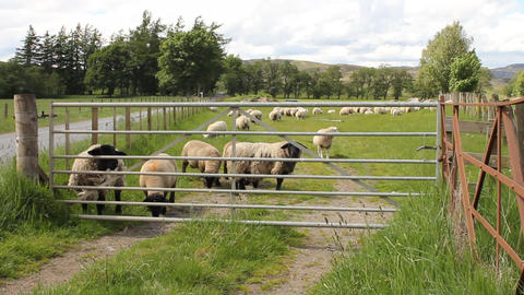 Sheep behind a gate Stock Video Footage