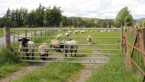 Sheep behind a gate Footage