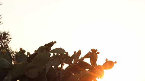 Sun shining through branches of Indian fig cactus Stock Video Footage