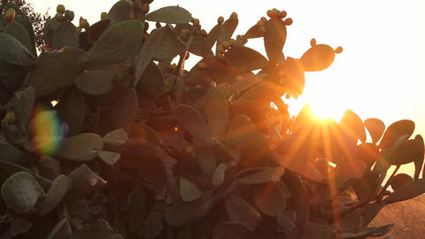 Sun shining through branches of Indian fig cactus Footage