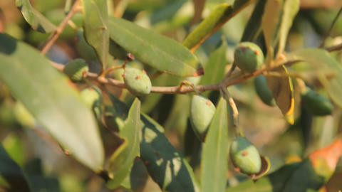 Olives dancing in the wind Stock Video Footage