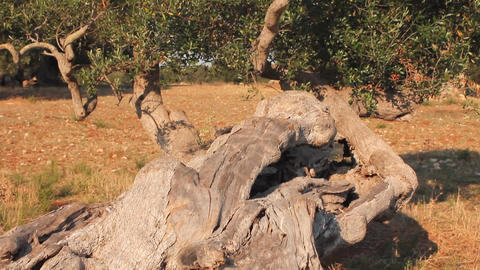 Olive tree with twisted trunk Stock Video Footage