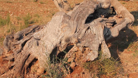Olive tree with twisted trunk Footage