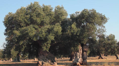 Wind blowing the leaves and branches of two olive Stock Video Footage