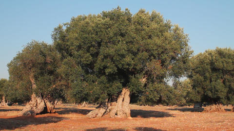 Field of olive trees Footage