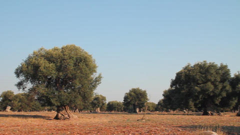 Field of olive trees Stock Video Footage