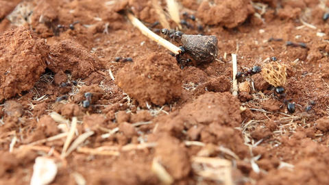 Working ants carrying heavy loads Stock Video Footage