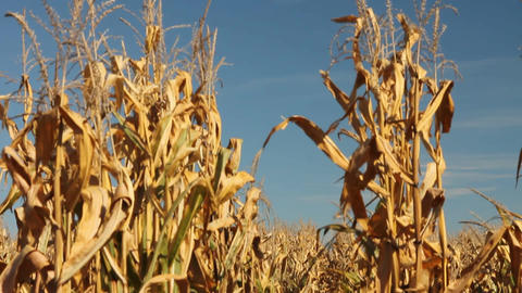Row of corn stalks Footage