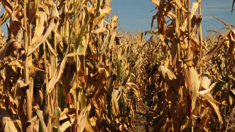 Row of corn stalks Stock Video Footage