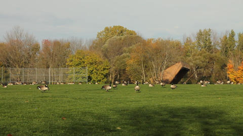Pan of large group of Canadian geese Stock Video Footage