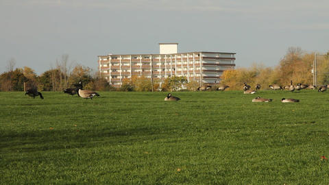 Pan of large flock of Canadian geese Stock Video Footage