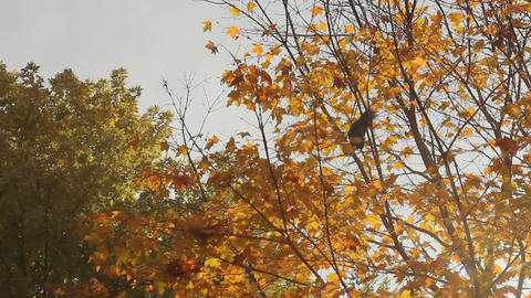 Squirrel jumping from branch to branch Stock Video Footage