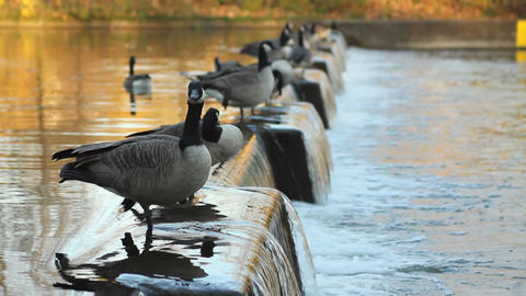 Flock of Canadian geese Footage