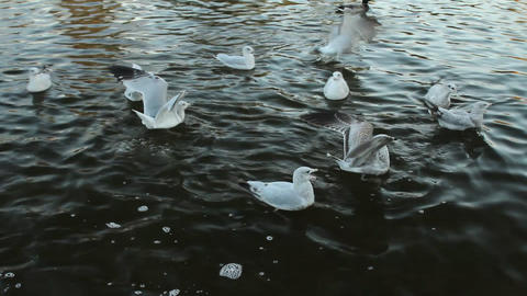 Seagulls and ducks on the water Stock Video Footage