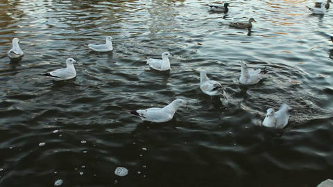 Seagulls and ducks on the water Footage