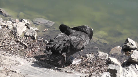 black swan sleep Footage