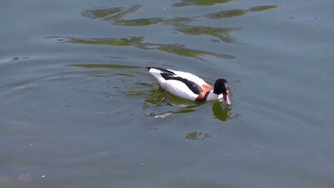 duck floating in the pond Stock Video Footage