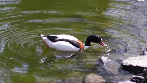 duck swim 03 Stock Video Footage