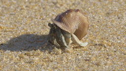Hermit crab on a warm tropical beach with sound of waves - 4k closeup Footage