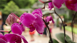 pink orchids in Macau park with people passing behind Footage