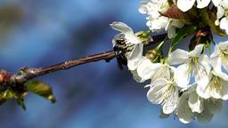 Black bee between apple tree flowers Footage