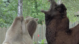 The Bactrian Camel yawns, Camelus bactrianus Live Action