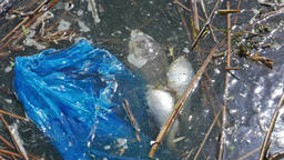 Dead fish and plastic bag. Water pollution Footage