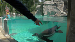 Families are watching Humboldt penguins swimming in a pool at zoo Footage