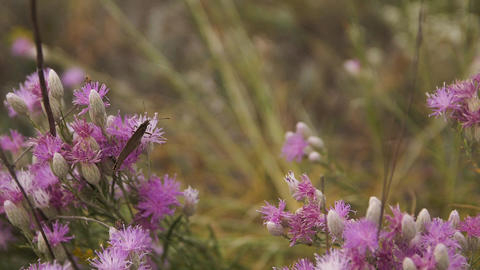 a brown butterfly flutters from flower to flower. Slow... Stock Video Footage