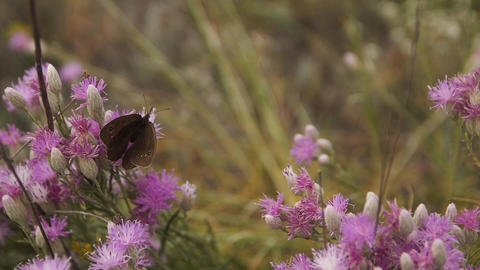 a brown butterfly flutters from flower to flower. Slow…, Live Action