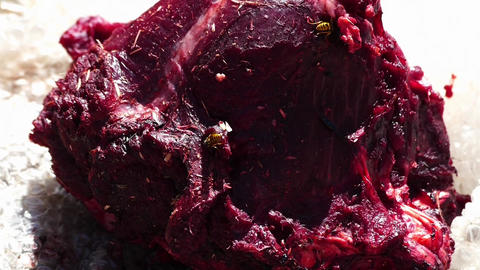 Wild bees on animal meat carnivorous bees Footage