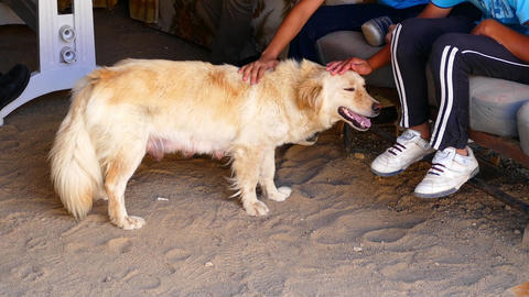 animal love, children are caressing a dog, the size is short doggy, female dog Footage