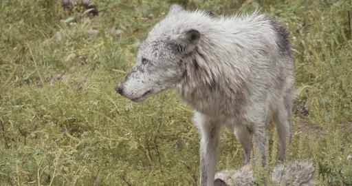 4K Cinematic Pack of Wild Wolves Stock Video Footage