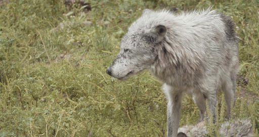 4K Cinematic Pack of Wild Wolves Footage