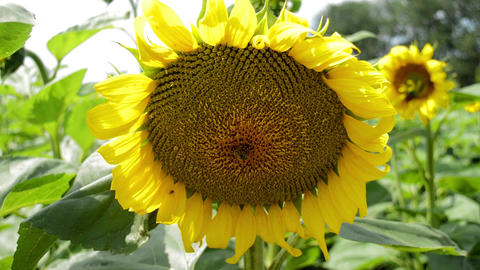 Sunflower in the field, bee inside the flower Live Action