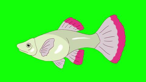 Big Red Guppy Aquarium Fish Chroma Key looped, Stock Animation
