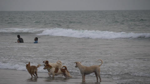 4 Dogs fighting the sea Editorial Footage