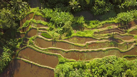 Popular Rice Paddy Fields in Ubud. 4K, Aerial. Bali, Indonesia Live Action