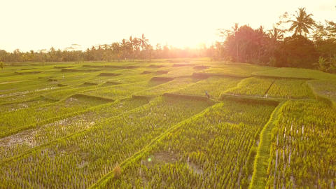 Amazing Sunset at Rice Paddy Fields. 4K, Aerial. Bali, Indonesia Live Action