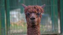 An alpaca (Vicugna pacos) portrait 4 Footage