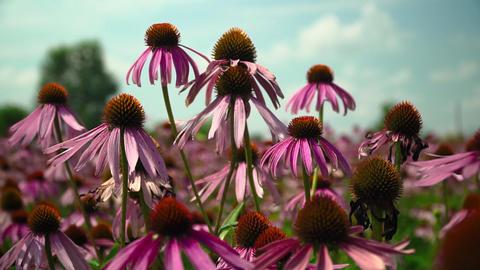 Flowers echinacea on a flower field Footage