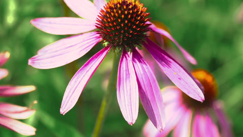 Beautiful flower of echinacea swayed in the wind Footage