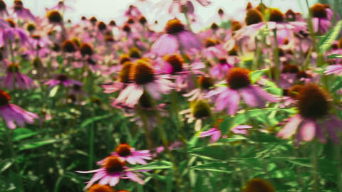 Flowers echinacea on a flower field Stock Video Footage