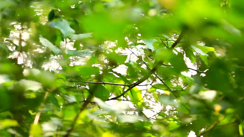 Beautiful fuzzy transfusion of light through green leaves of trees. natural Footage