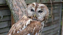 The tawny owl or brown owl (Strix aluco) Footage